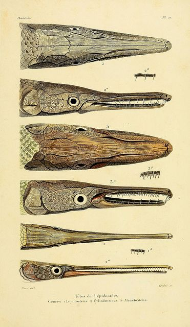 """wapiti3: """" Natural history of the fish, or general ichthyology / by Aug. Duméril; on Flickr. Publication info Paris: Librairie encyclopedic Roret 0.1865 to 1870. BHL Collections: Smithsonian..."""