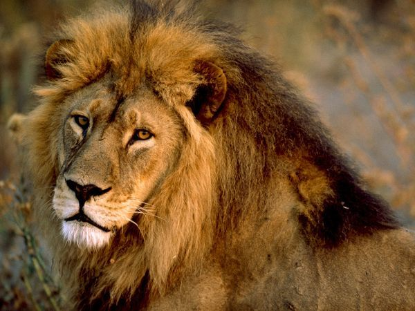 Nearly all wild lions live in sub-Saharan Africa, but one small population of…