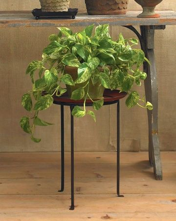 Pothos Vine (Epipremnum 'Marble Queen') The beloved staple of offices and rec rooms. Given just a bit of natural light, the golden and variegated forms will glow.