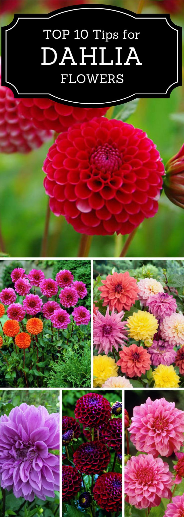 Top 10 Tips on How to Plant, Grow, and Care for Dahlia Flowers | Read these tips for gardening Dahlia flowers.