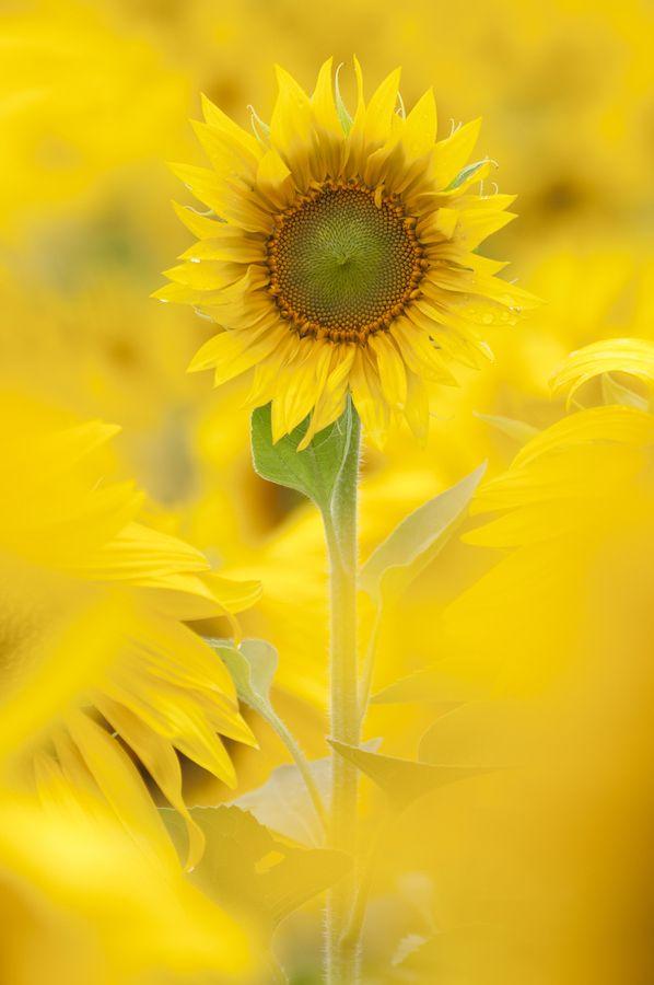 .: Yellow Sunflowers, Mellow Yellow, Soft Color, Sun Flower, Gardens, Flower Idea, Flower Fields, Mellowyellow, Yellow Flower