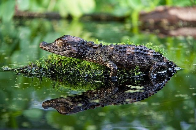 schneiders dwarf caiman | Schneiders Dwarf Caiman |ॐ| In Jhordona's low marshes and during the ...