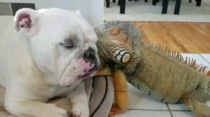 Bulldogul si iguana cei mai buni prieteni