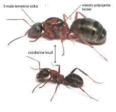 mravce - Hľadať Googlom