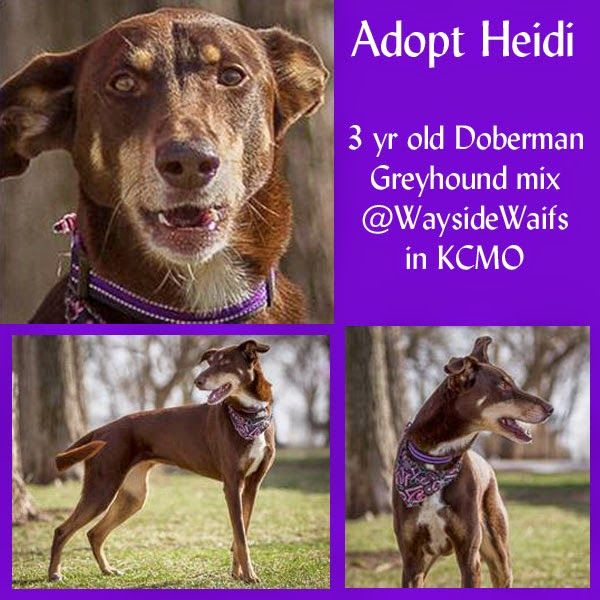 Adopt a dog! Heidi is a 3 year old Doberman Greyhound mix