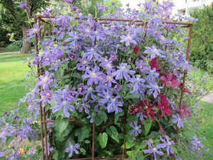 clematis integrifolia arabella at co clematis in finland k rh j suomessa pinterest. Black Bedroom Furniture Sets. Home Design Ideas