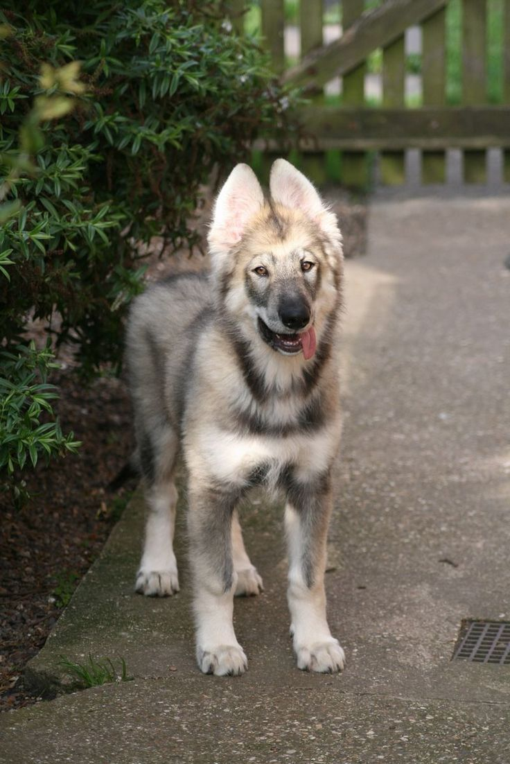 Northern Inuit dog. Almost identical to wolves, except that they aren't wolves.