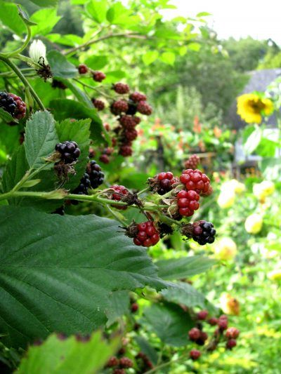 Blackberry Companion Plants: What To Plant With Blackberry Bushes - Companion plants for blackberry bushes can help those brambles thrive, if you choose the right ones. For information about what to plant with blackberry bushes, this article will help. Companion plants makes your berry patch prettier, healthier or more productive.