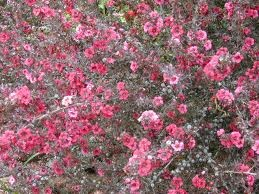 New zealand tea tree...one of my favorite Shrubs.  Mine is 5' high this year and loaded with flowers.