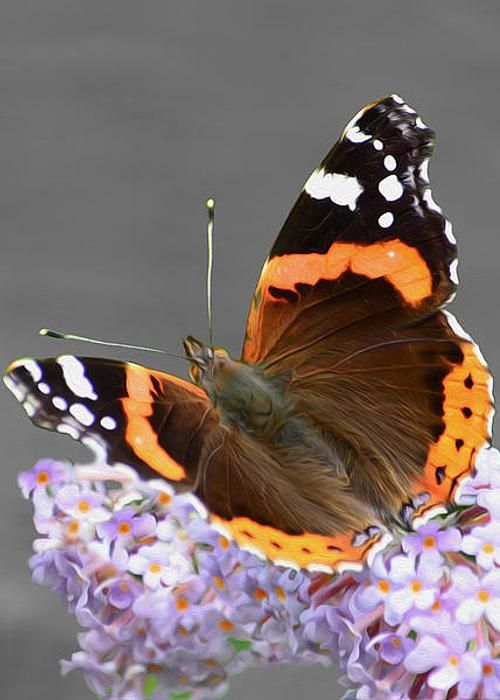 Red Admiral Butterfly by Veli Bariskan