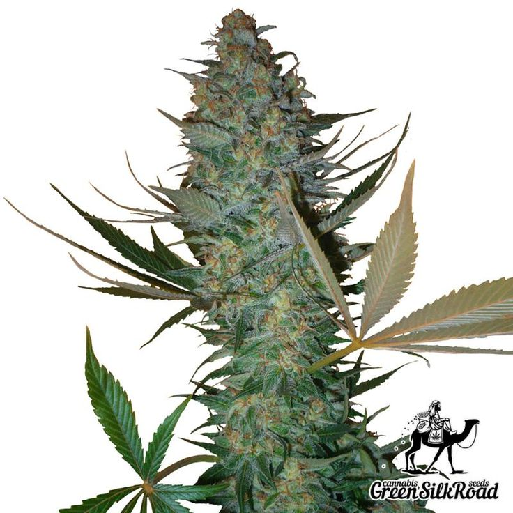 Auto AK Feminised is a wonderful indica-sativa autoflorescent strain with luxurious pungent aroma. High stuff quality and amazing commercial potential allowed using this strain as a genetic basis for new hybrids. Its plants reach a maximum of 80 centimeters, which does not prevent them to produce up to 75 grams of the harvest per bush. The strain produces a huge amount of resin with a high THC content, reaching about 15%, providing a deep sedation effect