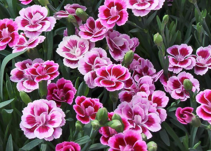 25 beste idee n over dianthus caryophyllus op pinterest rode anjer bloemen en roze anjers. Black Bedroom Furniture Sets. Home Design Ideas