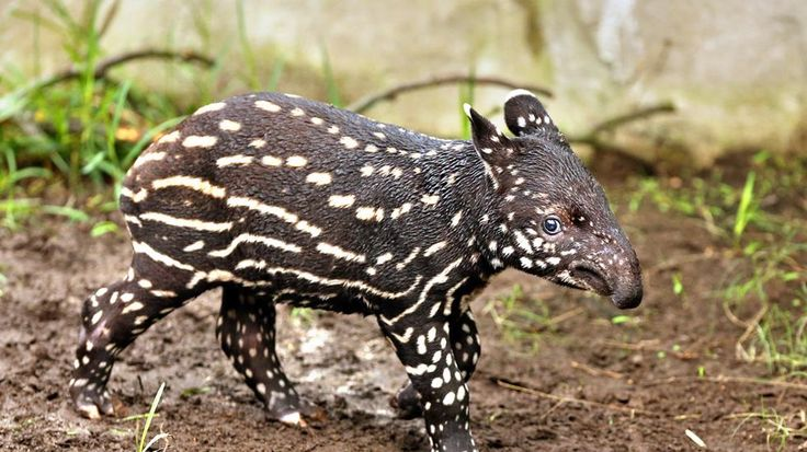 A young Malayan tapir at Gondwanaland, Zoo Leipzig, in eastern Germany on March 7, 2013. The male baby tapir was born on Feb. 9, 2013, at the zoo. (AFP/Getty Images)