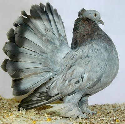 PIGEON - Indian Fantail pigeon is a breed of fancy pigeon. The Indian Fantail doves originated in India.