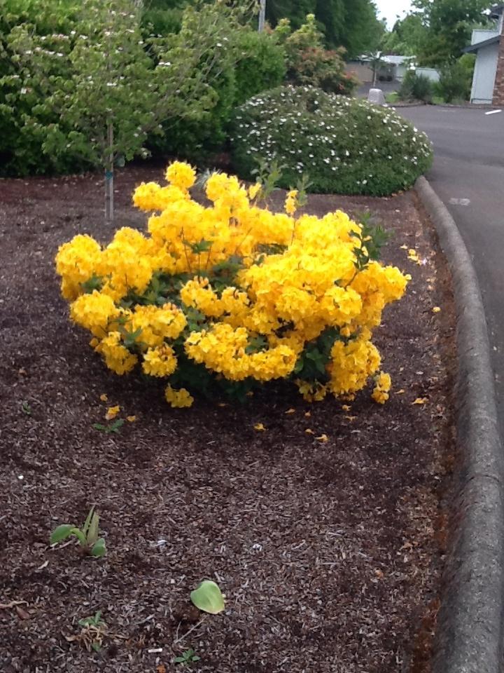 Azalea in my neighbor's front yard - Albany condo