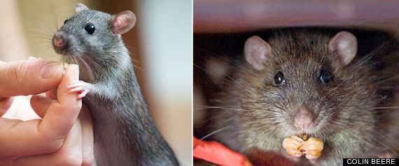 A Love Story About... A Rat Named Mr. Tiffany