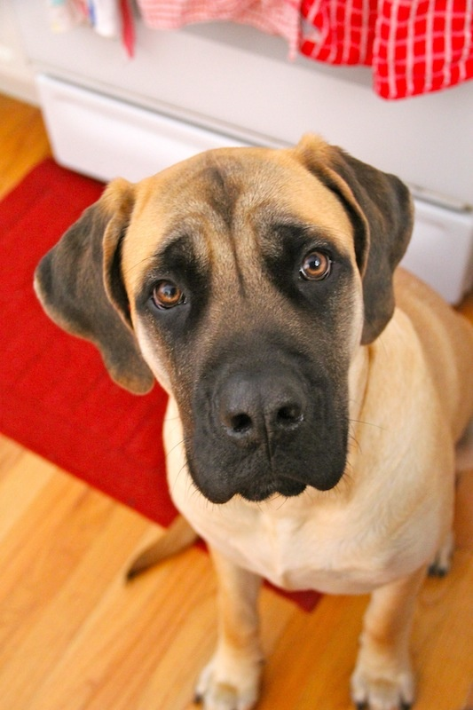 What Kind Of Dog Food Is Best For English Mastiff