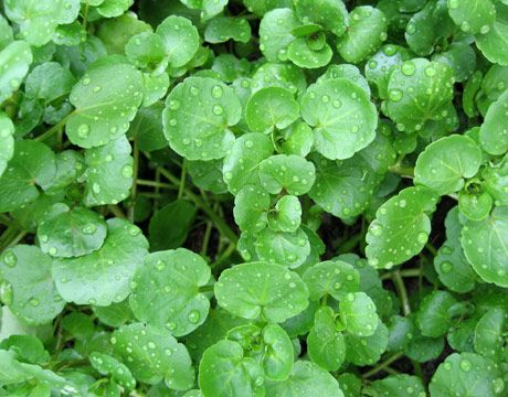 27 best Wild Cress images on Pinterest David Link and Pepper