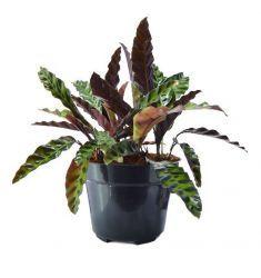 Calathea Lancifolia Rp 35,000