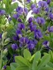 Blue Wild Indigo (Baptisia Australis) -- saw this on Portsmouth, NH -- love it!!