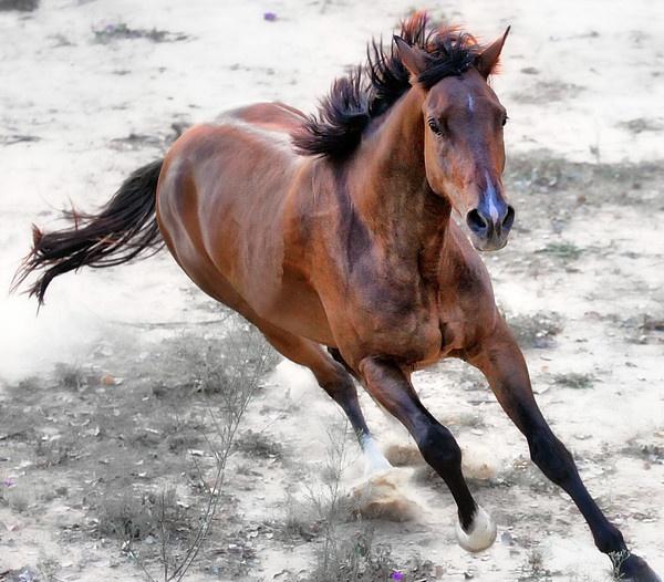 Warmblood Horse Galloping Print by Vanessa Mylett
