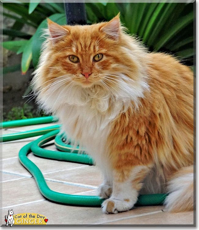 Read Ginger the Persian mix's story from Nicosia, Cyprus and see her ...