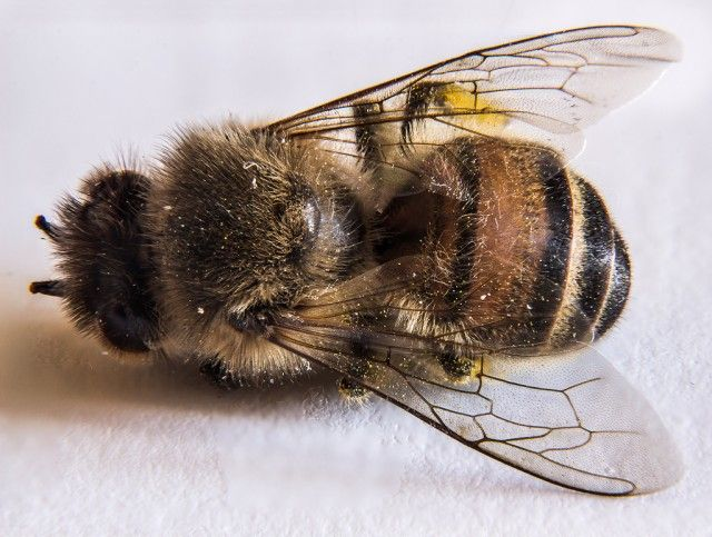 Who's killing the bees? New study implicates virtually every facet of modern farming - Colony Collapse Disorder is wiping out entire hives so quickly that scientists have a hard time pinpointing the exact cause. Bee populations have plummeted.