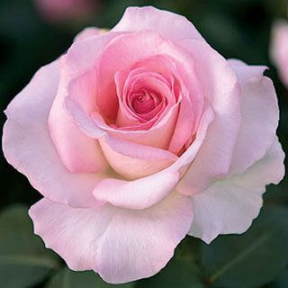 $18.95 The official rose of the National Breast Cancer Foundation, this exquisite hybrid tea combines all shades of soft pink on high-centered, perfectly formed large blooms. Jackson and Perkins