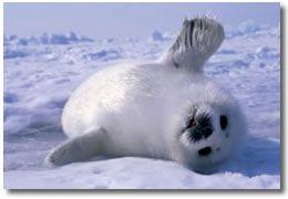 Una foca.