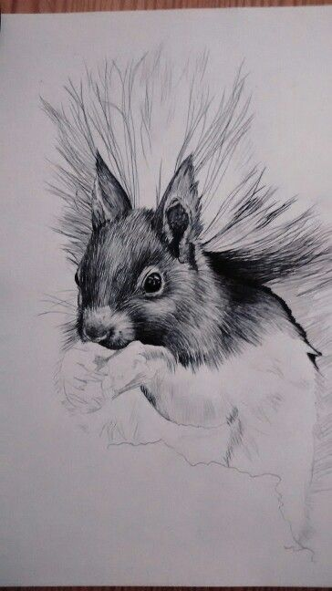 Pen and ink style wildlife art Drawn in Biro squirrel by Karolina Czerwinska