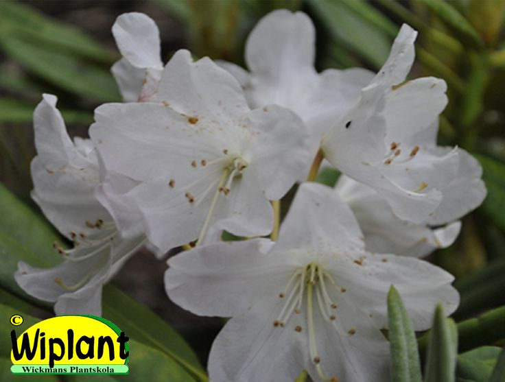 Rhododendron tigerstedtii-gruppen 'Axel Tigerstedt', rhododendron. Höjd: 1,5 m. Zon III.