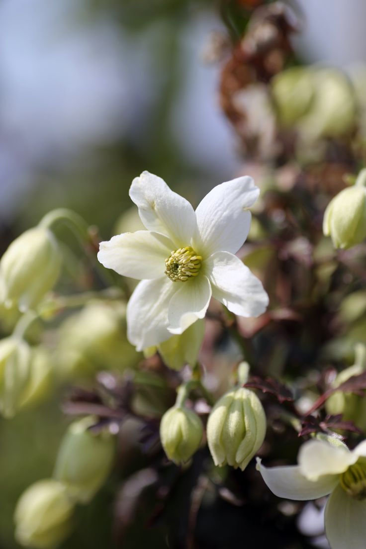 "Clematis cartmanii ""Avalanche"" looks stunning in early spring when it is covered with these creamy white flowers. (While we keep a fantastic range of plants in stock 12 months of the year, we would advice giving us a ring if you are looking for a specific plant, call us now on 01924 276446)"