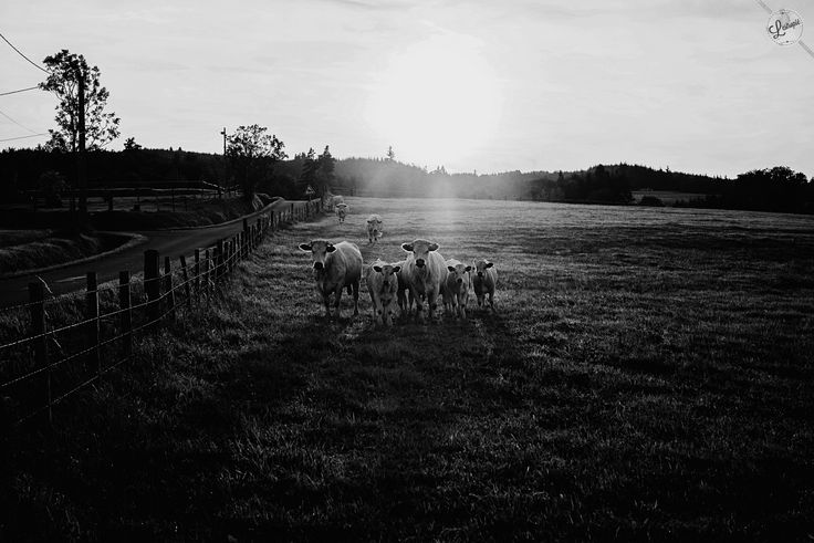#photography #500px #blackandwhite #nikon  Gang of cows by lestropie on 500px