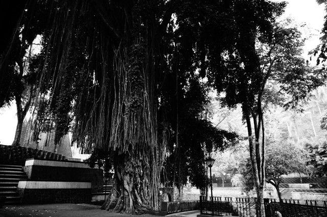 Beringin tree @ Sendang Sono, Yogyakarta. #beringin #tree #sendang #sono #catholic #marry #pray #yogyakarta #Indonesia