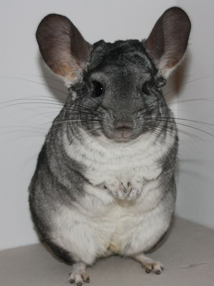 chinchilla standard grey and a velvet black wallpapers ...