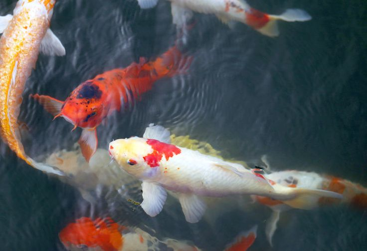 17 best images about pools ponds on pinterest raised for Koi fish predators