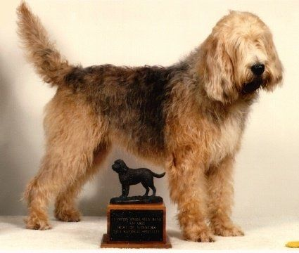 Otterhound- as the name would suggest, where bread to hunt otters, they are scent-hounds
