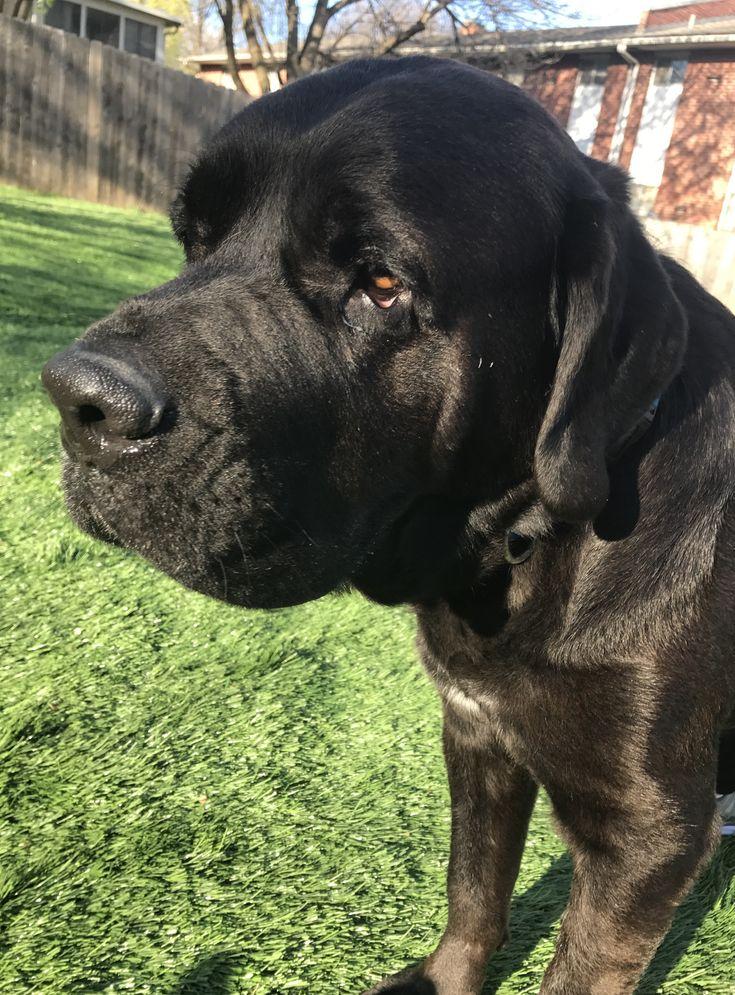 mastador dog for adoption in holden  mo  adn