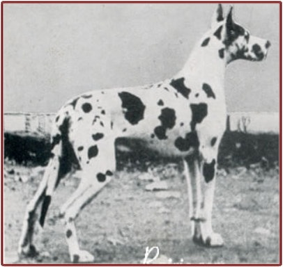 CH Rux-Conny v St. Magn-Obertraubling. Born Sep 23, 1951. Breeder: Jos. Stehberger, Munchen-Neubiberg. Owner: Willi Glittenberg, Munster-Westf. Siblings were Ramona, Rita and Rosi von St Magn Obertraubling. Rux-Conny was bred to Diana von Forst Schonberg and produced, on July 3, 1957, the litter: Astrid, CH Atilla and CH Asta vd Grossen Geist. Rux-Conny was bred to CH Wodka vd Stadt-Hamburg and produced, on Aug 13, 1957, the litter: I.W. Harper, Helios and Haila vd Stadt Hamburg. And many…