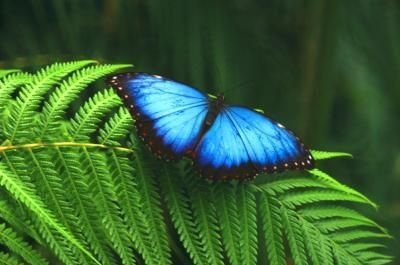 Facts for Kids on the Blue Morpho Butterfly thumbnail