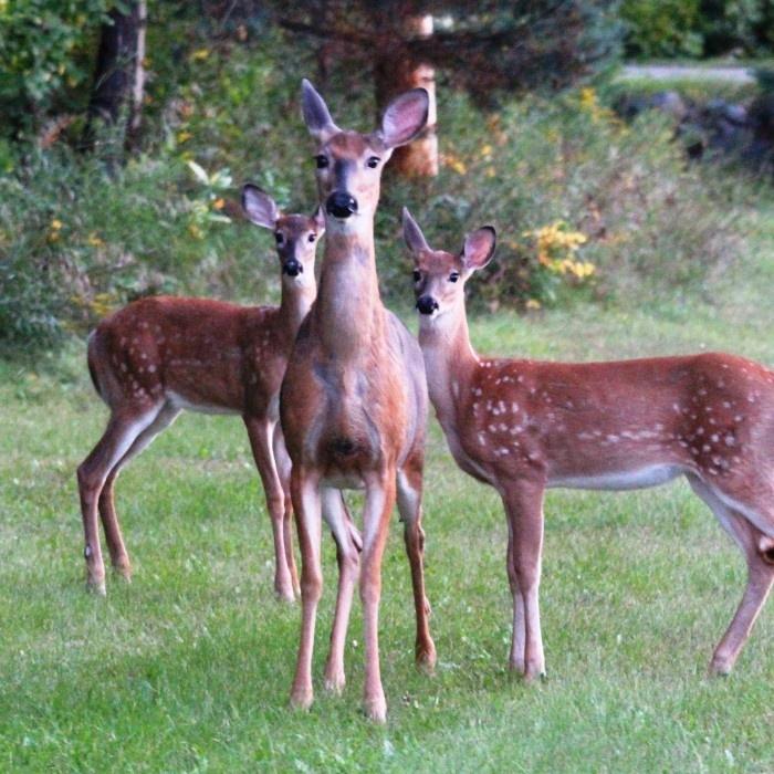 We captured Momma deer and her babes in Haliburton Highlands.