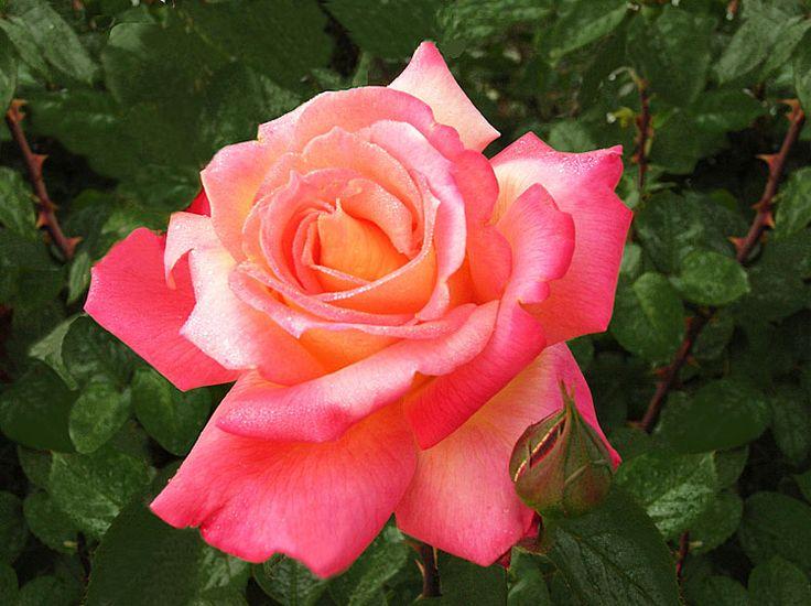 Rose (Photographic Print - Unframed))
