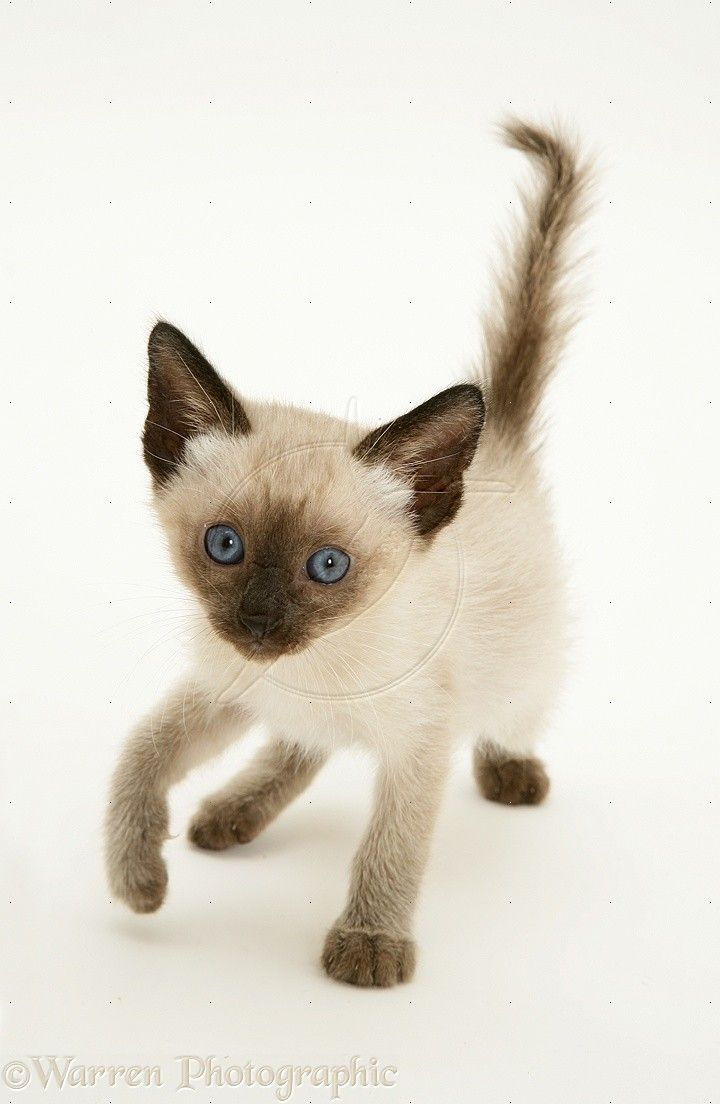 Best 25+ Seal point siamese ideas on Pinterest | Kittens cutest ...