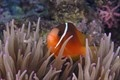 Pesce pagliaccio in mezzo ai tentacoli di un anemone marina