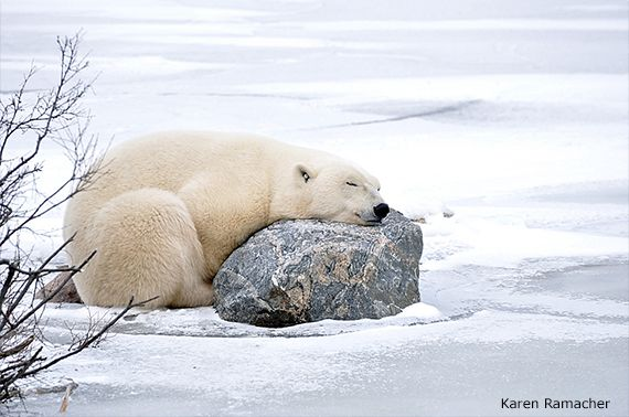 Photo of the Week: Snoozing Polar Bear | National Wildlife Federation