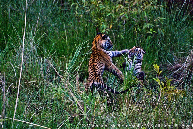 2 tiger cubs playing the way only they can , via Flickr.