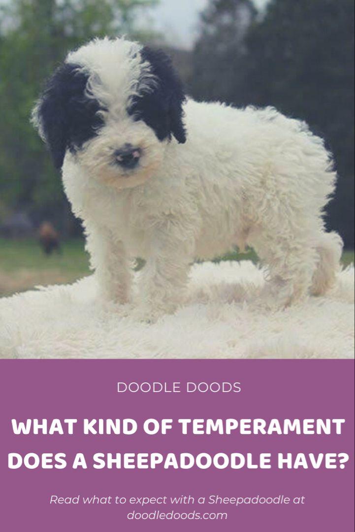 Sheepadoodle 101 Personality Temperament Doodle Doods In 2020 Sheepadoodle Dog Advice Sheepadoodle Puppy