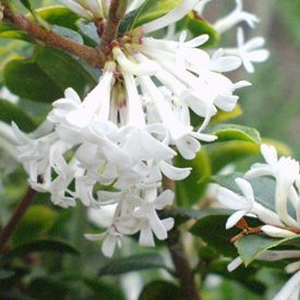 Osmanthus Pearly Gates scented flowers and how to make the most of them in garden