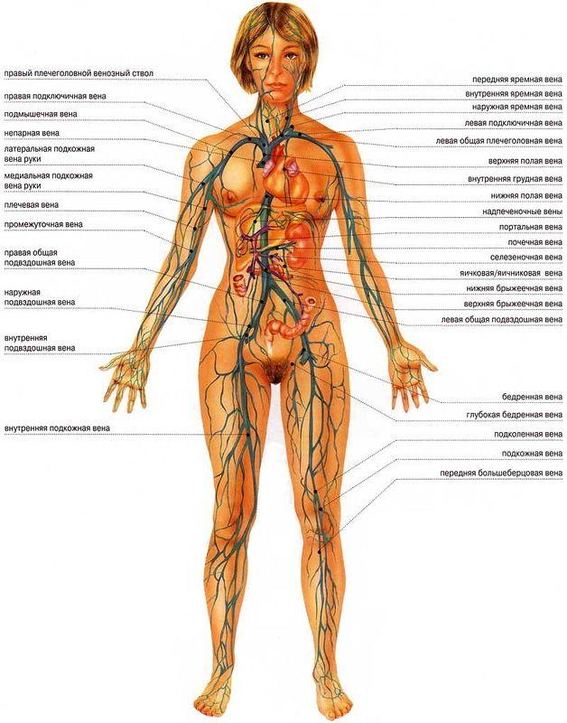 """Схема лимфатической системы.  Кровеносная система человека.  Источник - информация на сайте  """"Xsena: Целительство..."""