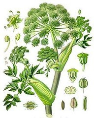 Queen Anne's Lace is in the same family as the carrot, and her root smells just like a carrot. When rubbed between fingers, her leaves smell of parsley.